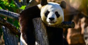 160409 panda